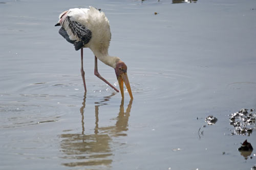 painted stork singapore-AsiaPhotoStock