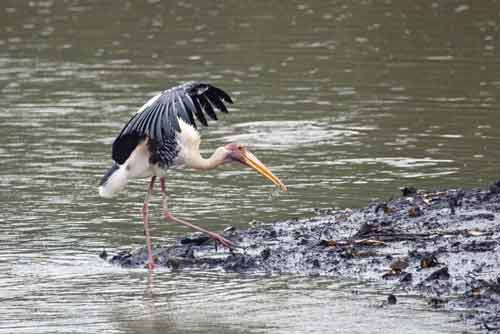 painted stork with fish-AsiaPhotoStock