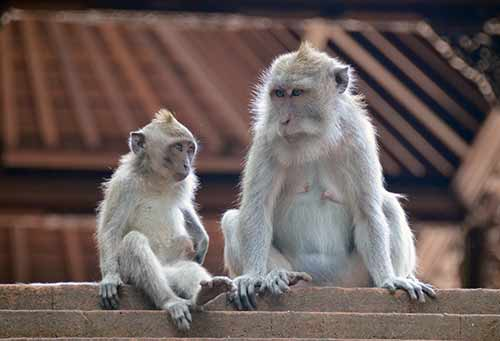 pair of macaques-AsiaPhotoStock