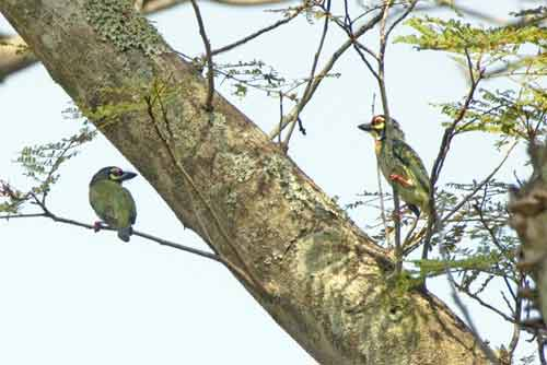 barbets coppersmith-AsiaPhotoStock