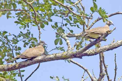 pair of pigeons-AsiaPhotoStock