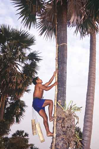 sugar palm collector-AsiaPhotoStock
