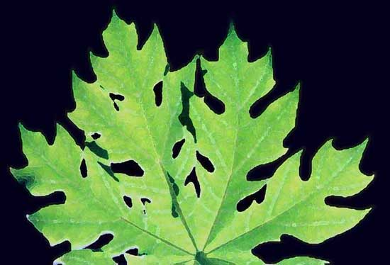 Papaya leaf-AsiaPhotoStock
