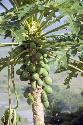 papaya tree with fruit-AsiaPhotoStock