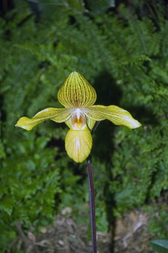 paph_golden_perfection-AsiaPhotoStock
