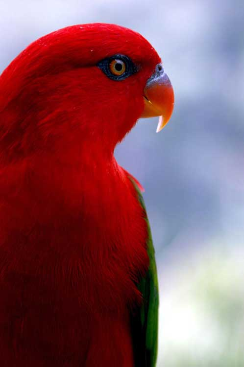 red lory-AsiaPhotoStock