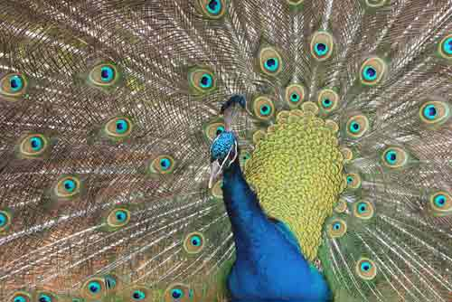peacock display-AsiaPhotoStock