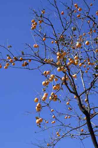 persimmon tree-AsiaPhotoStock