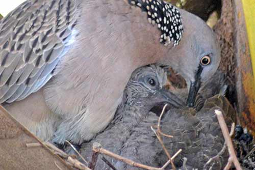 pigeon and chick-AsiaPhotoStock