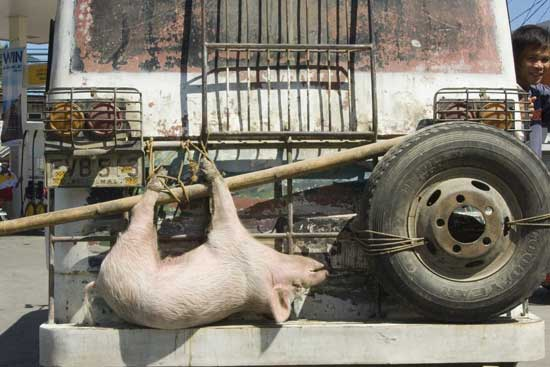 pig on truck-AsiaPhotoStock