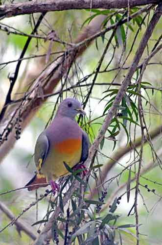 pink necked green pigeon m-AsiaPhotoStock