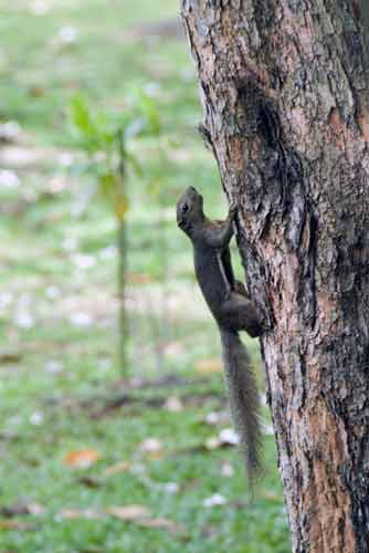 plantain squirrel-AsiaPhotoStock