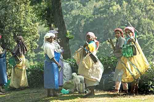 plantation workers-AsiaPhotoStock