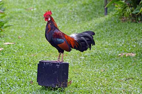 posing red jungle fowl-AsiaPhotoStock