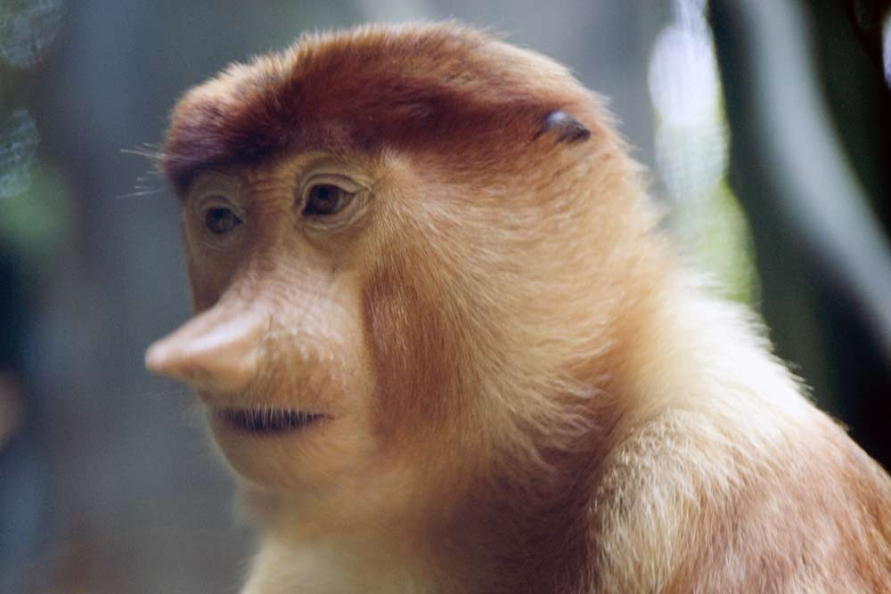 young proboscis monkey-AsiaPhotoStock