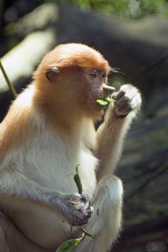 small proboscis monkey-AsiaPhotoStock
