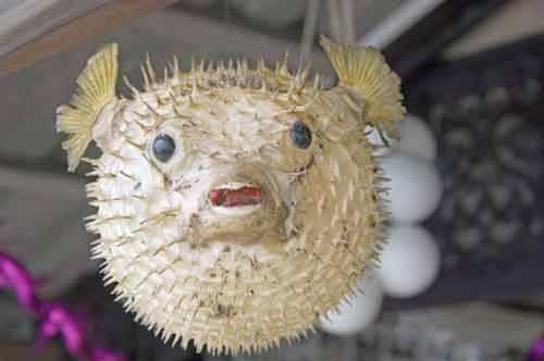 puffer fish ornaments-AsiaPhotoStock