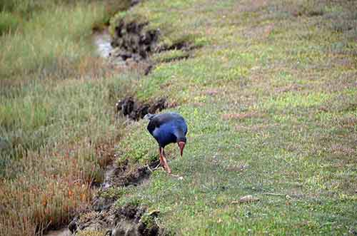 pukeko food-AsiaPhotoStock