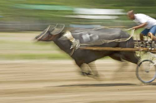 racing carabao-AsiaPhotoStock