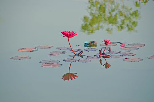 red lily on pond-AsiaPhotoStock