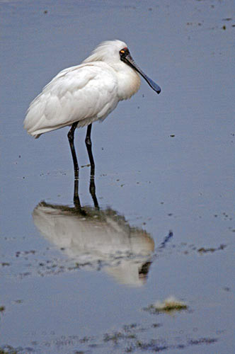 reflected spoonbill-AsiaPhotoStock
