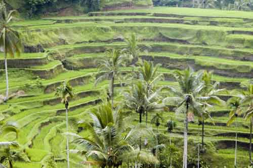 rice terraces-AsiaPhotoStock