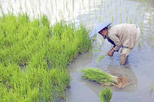 planting rice shoots-AsiaPhotoStock
