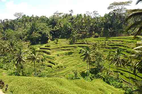 rice fields in bali-AsiaPhotoStock