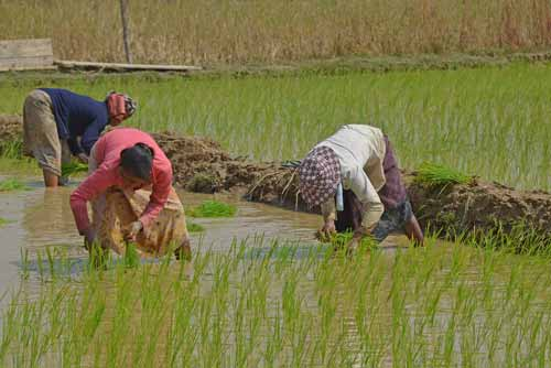 rice planting in laos-AsiaPhotoStock