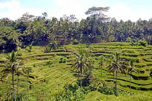 rice terraces in bali-AsiaPhotoStock