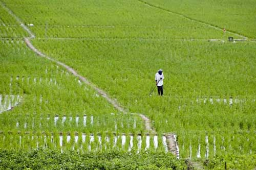 green wet rice field-AsiaPhotoStock