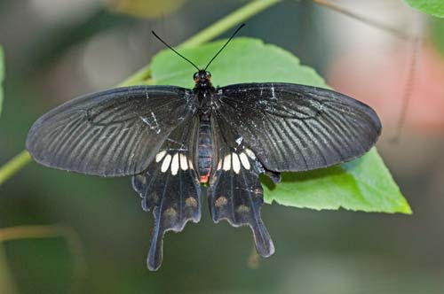 common rose butterfly-AsiaPhotoStock