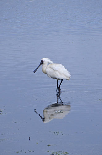 royal spoonbill-AsiaPhotoStock