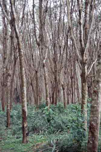 rubber plantation-AsiaPhotoStock