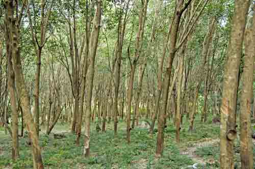 rubber tree forest-AsiaPhotoStock
