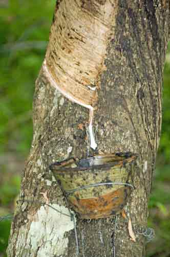 rubber tapping-AsiaPhotoStock