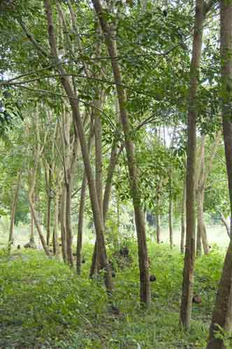 rubber tree plantation-AsiaPhotoStock