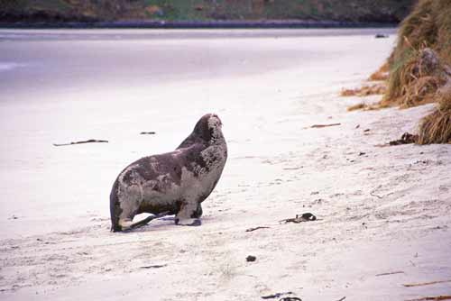 male sea lion walks-AsiaPhotoStock