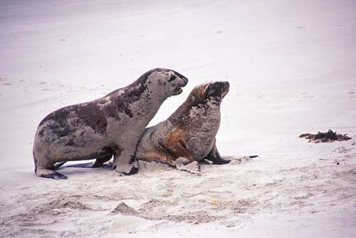 mating hooker sea lions-AsiaPhotoStock
