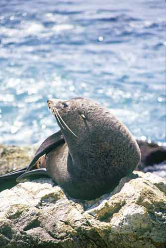 fur seal new zealand-AsiaPhotoStock