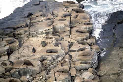 seal colony on rocks-AsiaPhotoStock