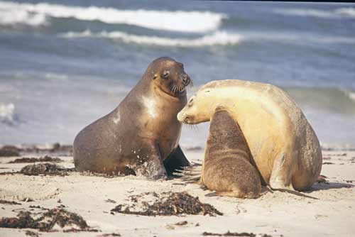seal family-AsiaPhotoStock