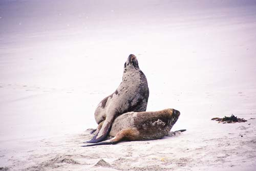 sealions-AsiaPhotoStock