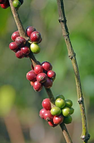 coffee seeds on tree-AsiaPhotoStock