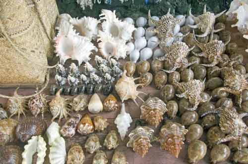 cowrie and conches-AsiaPhotoStock