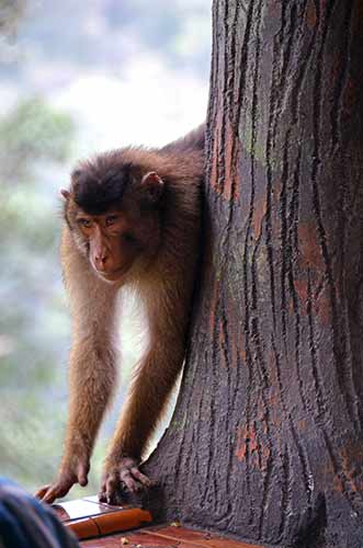 short tailed macaque-AsiaPhotoStock