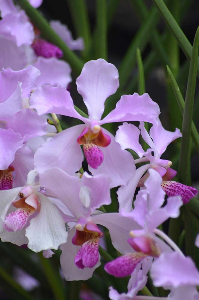 singapore national orchid-AsiaPhotoStock