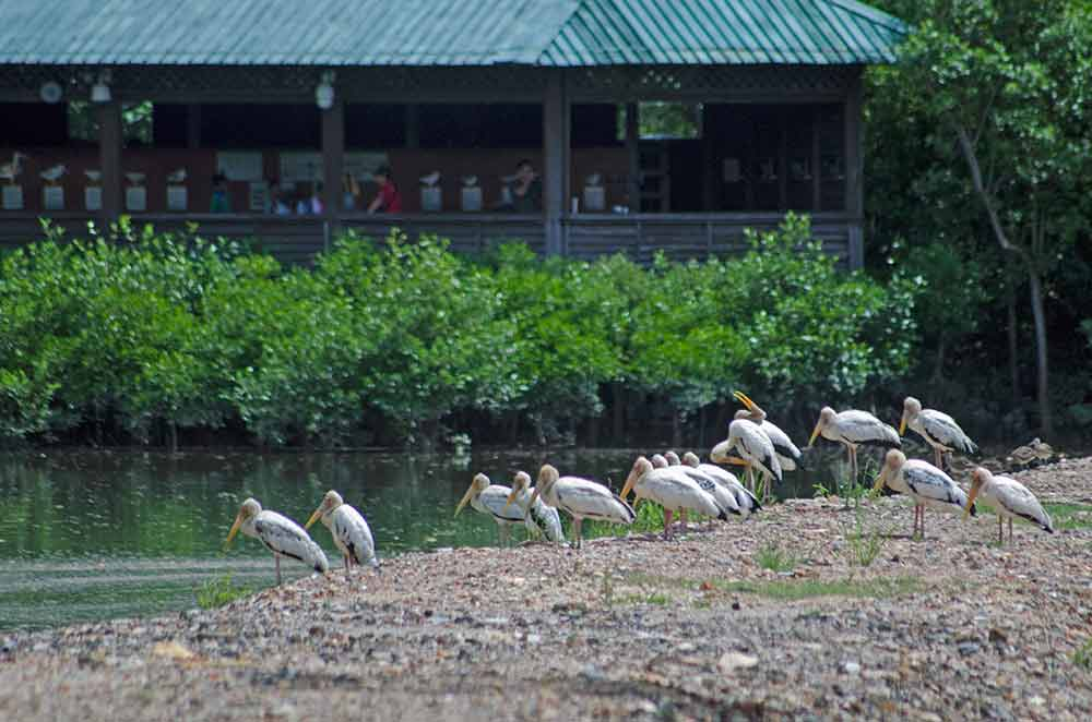 singapore painted storks-AsiaPhotoStock