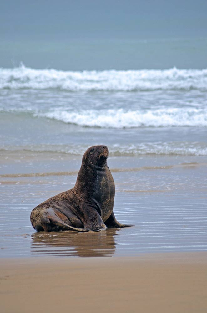 single sea lion-AsiaPhotoStock