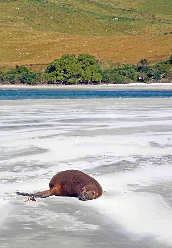 sleeping sea lion-AsiaPhotoStock